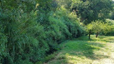Liberato il fosso Foglia, in Strada dei Canneti (PU). Piccoli movimenti franosi e tanta vegetazione ostacolavano il deflusso